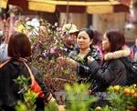 Đào Tết Ất Mùi hoa to đẹp, giá không biến động nhiều