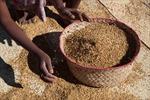 Nguy cơ mất an ninh lương thực gia tăng