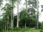 Quần thể cây Chò Chỉ 600 tuổi được công nhận di sản