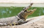 Bắt được cá sấu xổng chuồng gần đập thủy điện Trị An