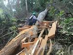 Bắt quả tang vận chuyển trái phép gỗ quý hiếm