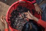 Nghề bắt nhện đen ở Campuchia