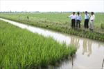 Làm giàu từ cánh đồng mẫu lớn  ở Tây Nam Bộ