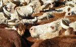 Trung Quốc - thị trường xuất khẩu thịt bò số 1 của Uruguay
