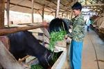 Sơn La chủ động phòng, chống đói rét cho gia súc