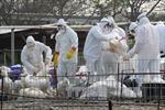 Canada xác nhận thêm một trường hợp nhiễm virus H7N9