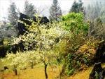 Cuối năm lên Sa Pa ngắm hoa mận trắng