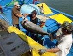 Ngư dân Phú Yên trúng cá ngừ đại dương đầu vụ