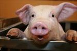 Chở gần 4 tạ lợn chết thối mang đi chế biến