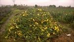 Cúc Tây Tựu phải đổ bỏ, người trồng lao đao