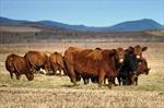 Hàn Quốc tạm ngừng nhập khẩu thịt bò Canada