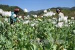 Triệt phá gần 1.000 cây thuốc phiện trong rừng