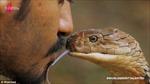 'Hoàng tử rắn' Malaysia liều mạng hôn rắn độc