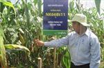 Ngô biến đổi gen chính thức được trồng ở Việt Nam
