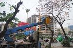 Hà Nội bắt đầu thay thế 6.700 cây xanh