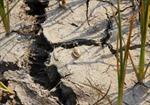 Ruộng đồng nứt nẻ đầu mùa khô ở Đắk Lắk