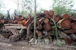 Không có chuyện TP Huế chặt hạ 3.500 cây xanh