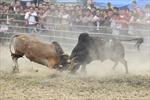 Sôi động hội thi bò đẹp và chọi bò