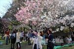 Lễ hội hoa Anh đào Nhật Bản sẽ diễn ra tại Hoàng thành Thăng Long
