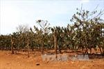 Hệ lụy việc ồ ạt trồng cà phê ngoài quy hoạch