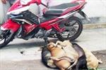 Bắt hai đối tượng trộm chó, gây tai nạn
