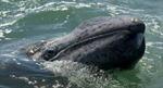 Ghi nhận kỷ lục di cư hơn 10.000km của cá voi xám