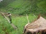 Hàng trăm cây thông bị bức tử tại rừng phòng hộ Lâm Đồng