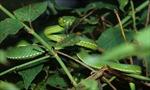 Người dân ĐBSCL liên tục bị rắn độc cắn