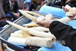 UEA thu giữ hơn 300 kg ngà voi trên đường về Việt Nam
