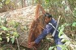Điều tra vụ chặt hạ hàng chục cây cổ thụ