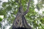 Hai cây thị cổ tại thành Nhà Hồ trở thành cây Di sản Việt Nam