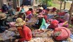 Phản hồi tin nhiều người dân vùng trồng hành tím ở Sóc Trăng bị mù lòa