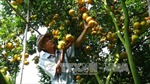 Dân vẫn trồng quýt đường trên diện tích vừa nhiễm bệnh