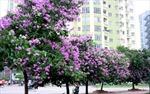 Bằng lăng, sắc hoa màu tím nhớ
