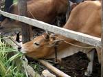Nhiều dự án nuôi bò ở Cao Bằng có nguy cơ 'phá sản'