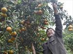 Anh Xứng trồng cam làm giàu