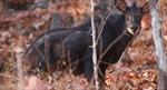 Khởi tố vụ án giết thịt sơn dương rừng