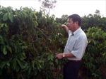 Kon Tum loay hoay vốn tái canh cà phê