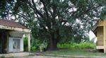 Cây bồ đề 132 năm tuổi được công nhận là cây Di sản