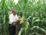 Trải nghiệm công nghệ ngô kháng sâu và chống chịu thuốc trừ cỏ tại Phú Thọ