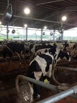 Khánh thành Vùng chăn nuôi bò sữa bền vững