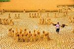 Sau mùa gặt