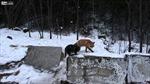"""Cáo hoang cướp đồ ăn của mèo nhờ """"luật rừng"""""""