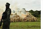 Tiêu hủy hơn 100 tấn ngà voi và sừng tê giác
