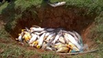 Chưa có cơ sở kết luận gà chết do ăn cá tại Đà Nẵng