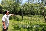 Tranh chấp 7 năm, rừng cao su bị bỏ hoang