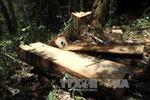 Vụ phá rừng pơ mu Nam Giang: 14 đối tượng đã ra đầu thú