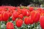 Australia rực rỡ mùa hoa tulip