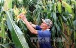 Vì sao chưa khuyến khích nông dân trồng ngô biến đổi gen?