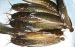 Thành tỷ phú nhờ nuôi cá trê vàng lai